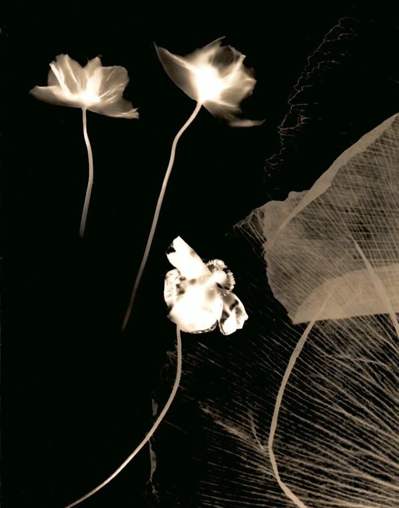 Poppies 2, 2005